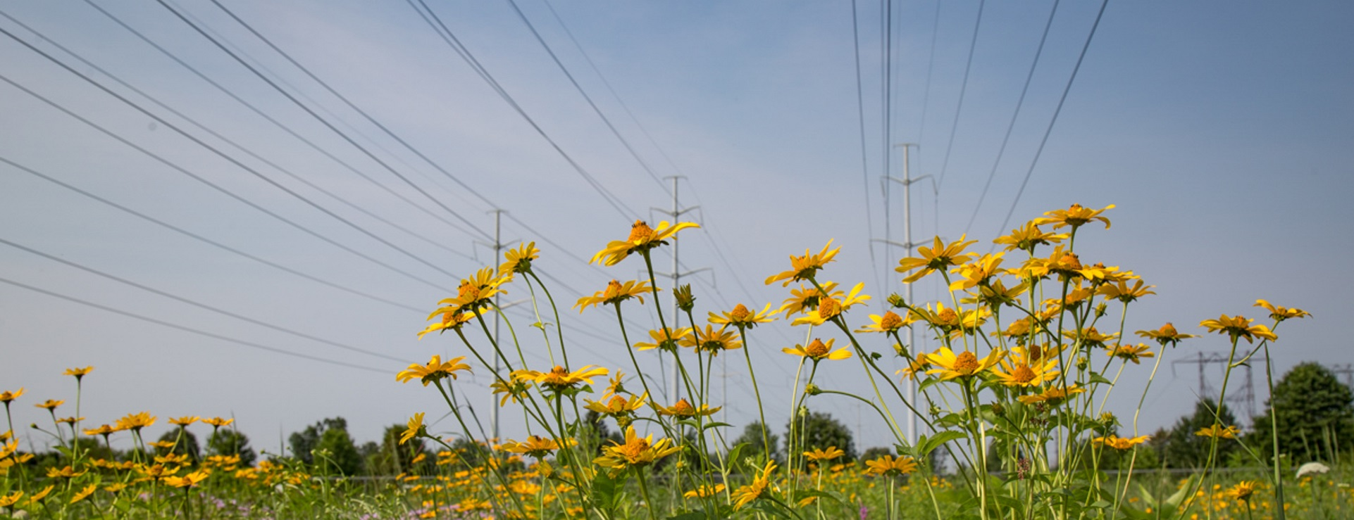 wildflowers grow in hydro corridor