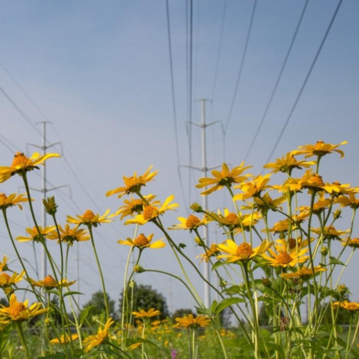 wildflowers in hydro corridor