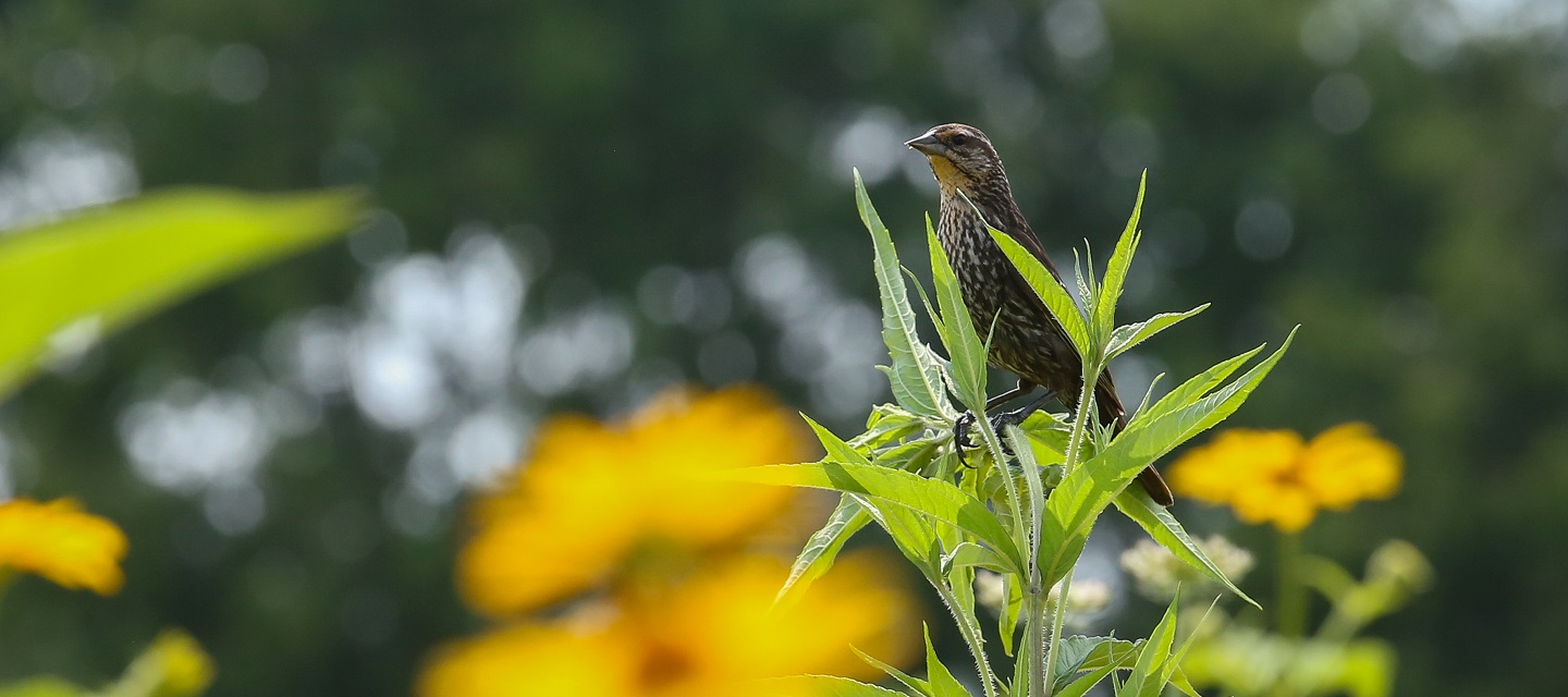 bird perched on stalk of meadow plant exemplifies the biodiversity of The Meadoway