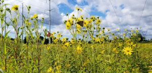 Make Your Own Meadoway: Create a Corridor of Native Plants and Pollinators @ Online webinar