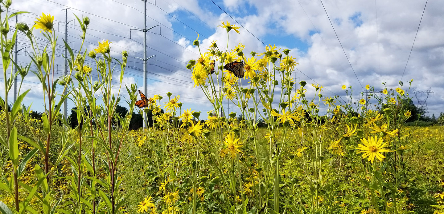 wildflowers bloom in The Meadoway