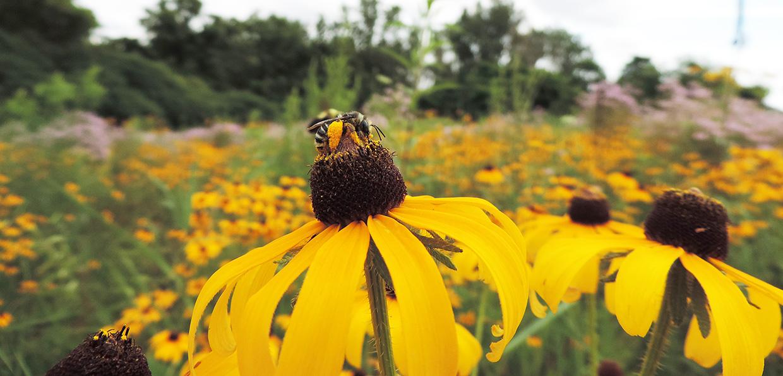 bee alights on wildflower in meadow