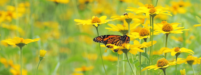 monarch butterfly alights on wildflower in meadow