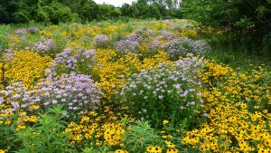 Native Plants of The Meadoway @ Online Webinar