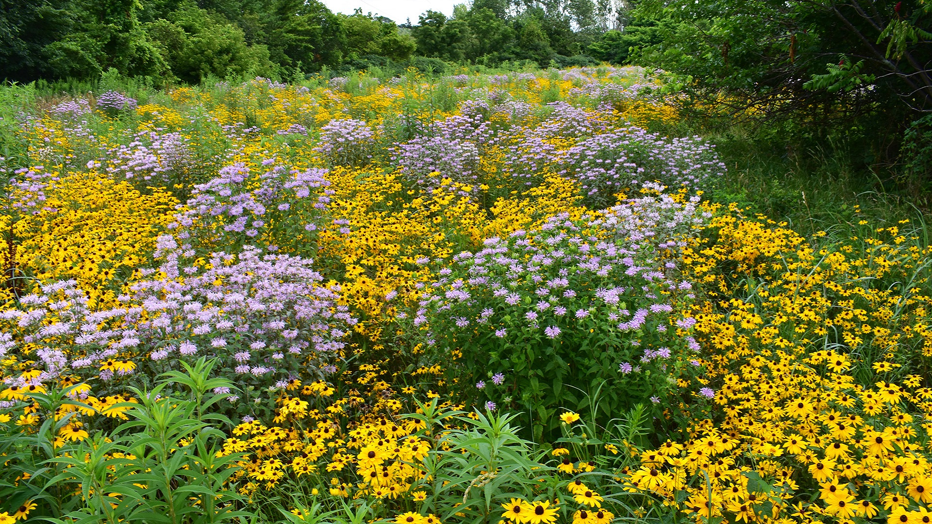 section of The Meadoway with native flowers in bloom