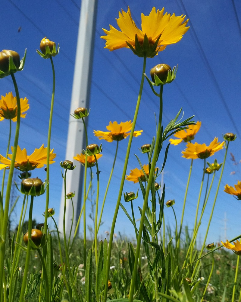 tall coreopsis flowers bloom in The Meadoway