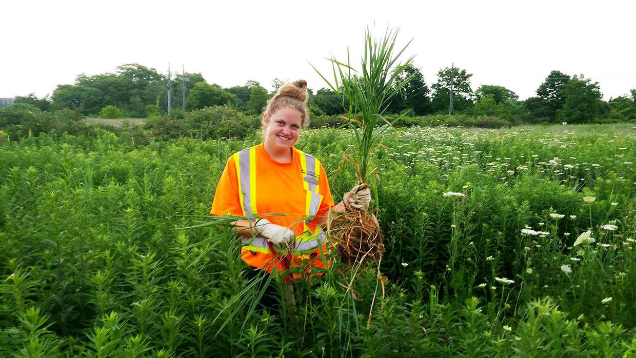 TRCA restoration team member pulls invasive species by hand in The Meadoway