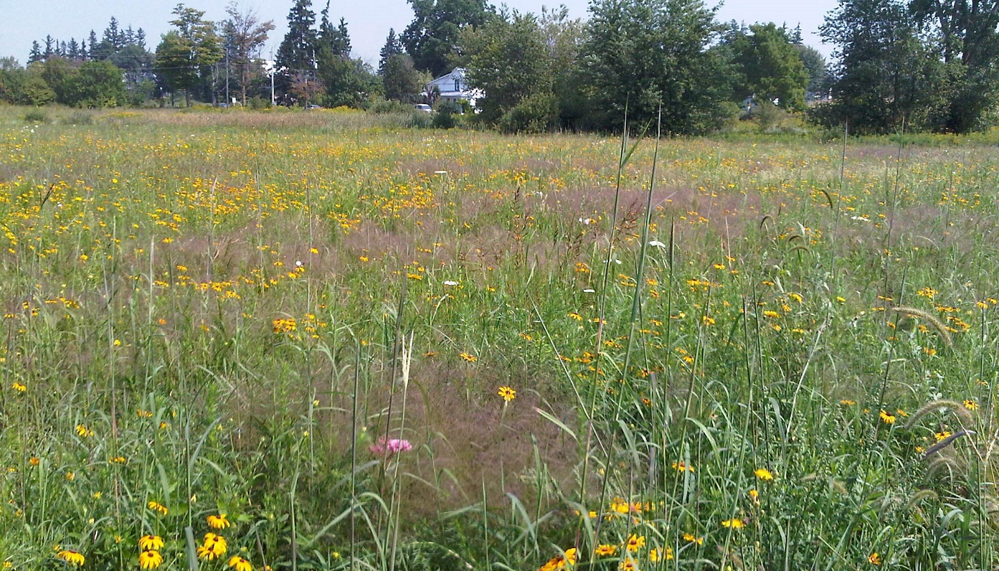 a diverse variety of native meadow plant species thrive in Rouge National Urban Park