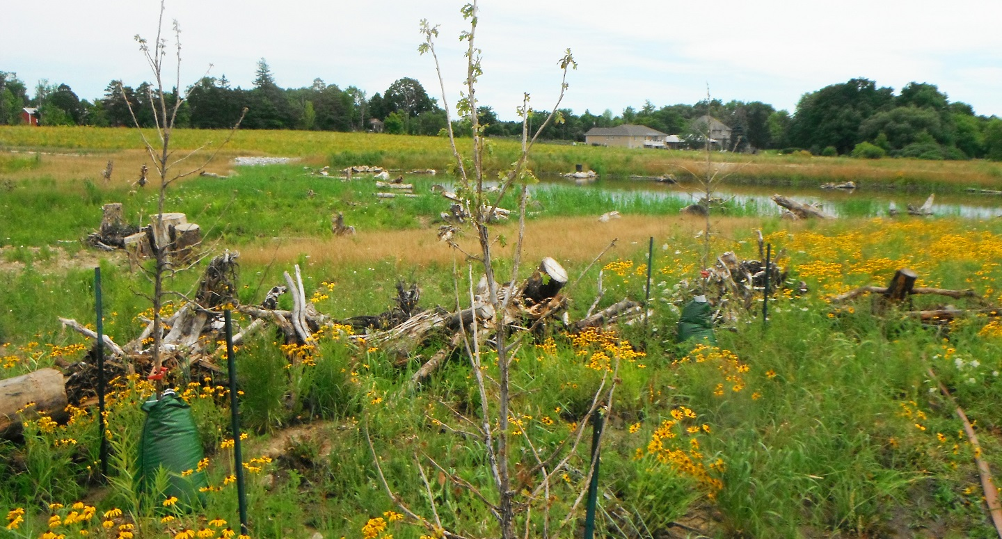 thriving meadow in Rouge National Urban Park following restoration efforts