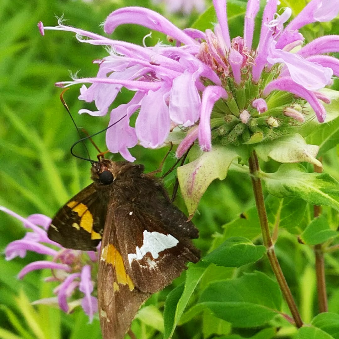 silver spotted skipper butterfly alights on wild bergamot in The Meadoway
