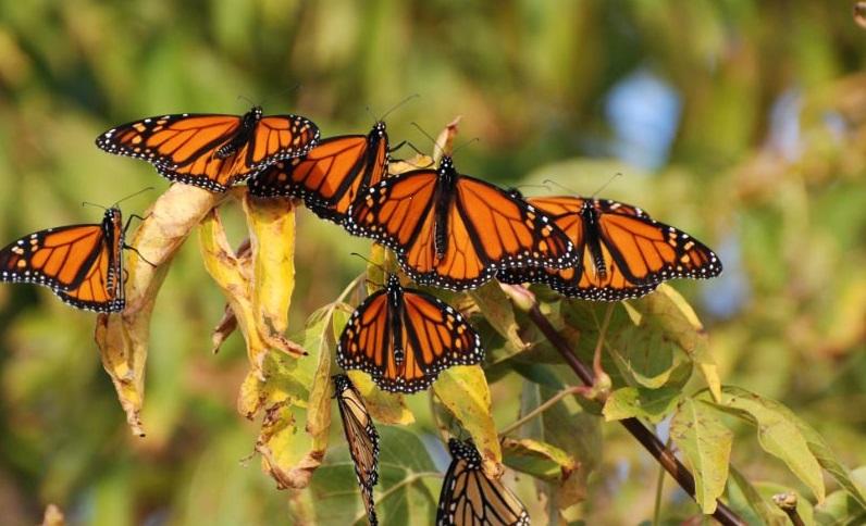 monarch butterflies during migration