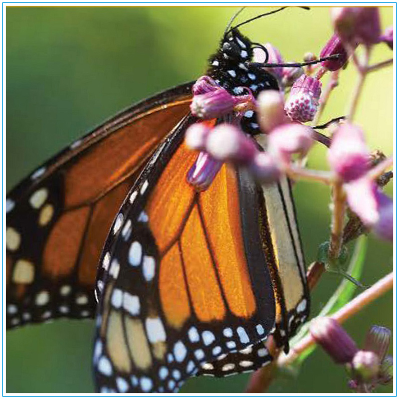 TRCA Healthy Yards - Butterfly Gardens fact sheet