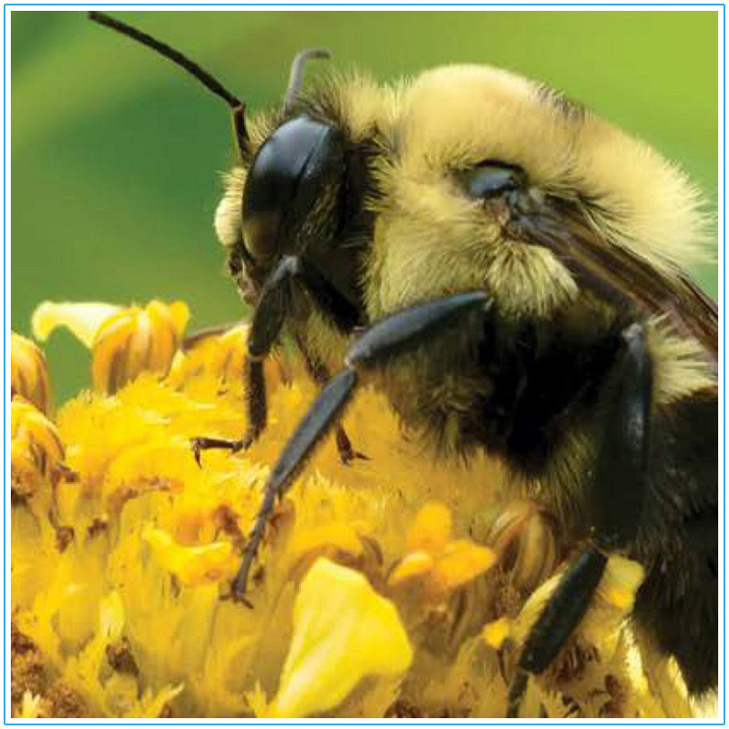 TRCA Healthy Yards - Gardening for Bees fact sheet