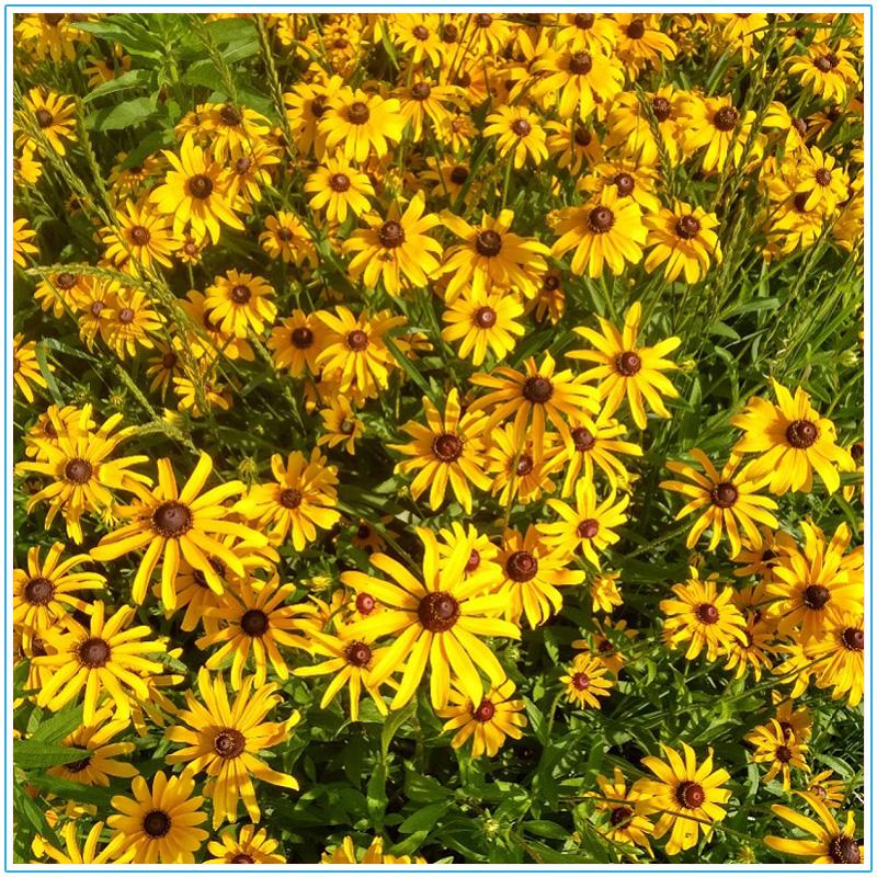 15 common Meadoway plants