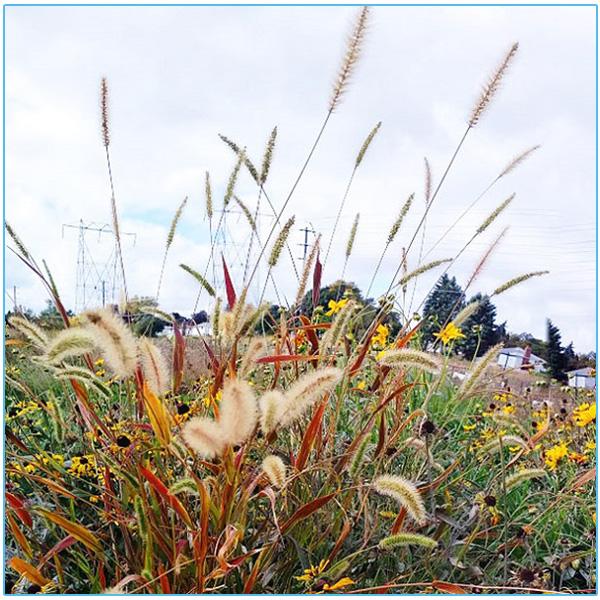 native meadow plants