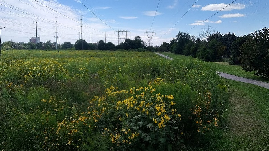 section of The Meadoway west of Bellamy Road in 2020 after meadow restoration
